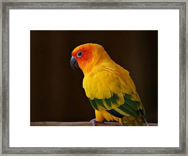 Sun Conure Parrot Framed Print