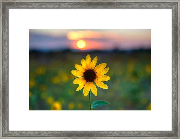 Sun Flower Iv Framed Print