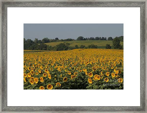 Sun Flower Sea Framed Print
