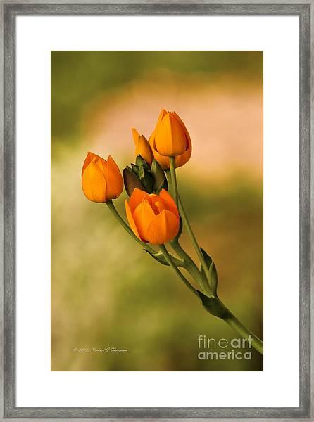 Sun Star Flower Framed Print