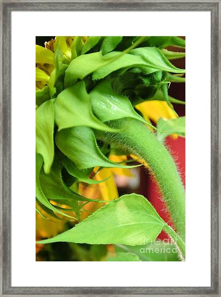 Sunflower - The Back Side Framed Print