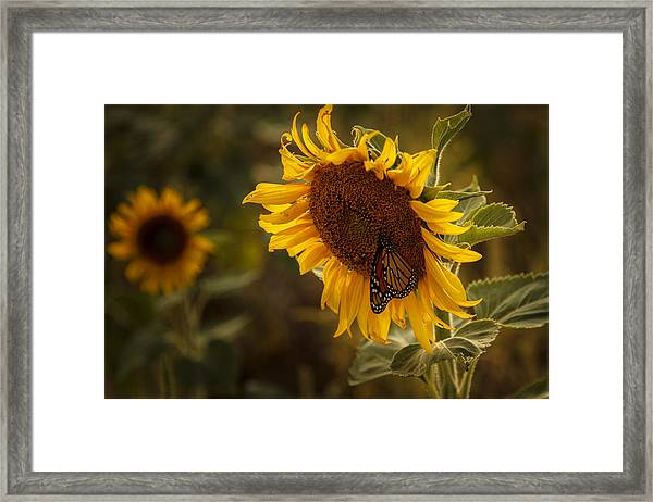 Sunflower And Butterfly Framed Print