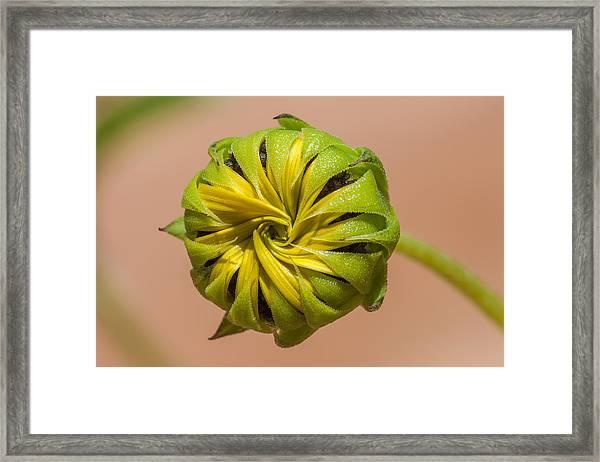 Sunflower Bud Opening Framed Print