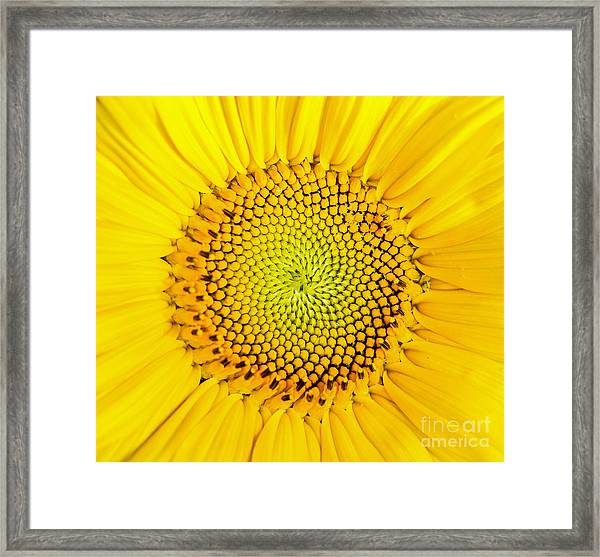 Framed Print featuring the photograph Sunflower  by Edward Fielding