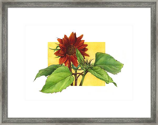Sunflower In Red Framed Print by Suzannah Alexander