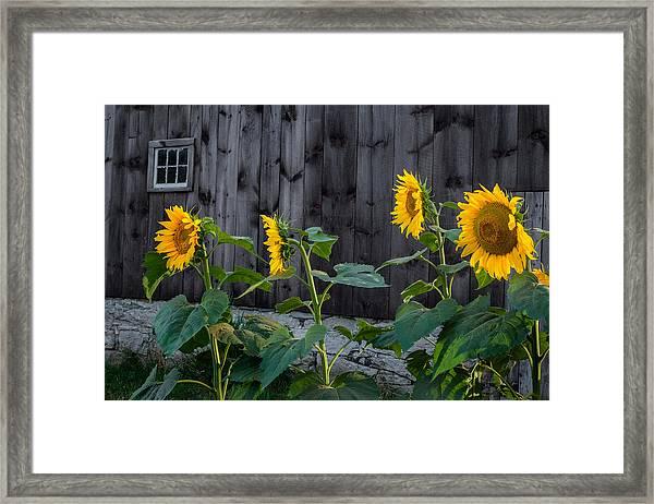 Sunflower Quartet Framed Print
