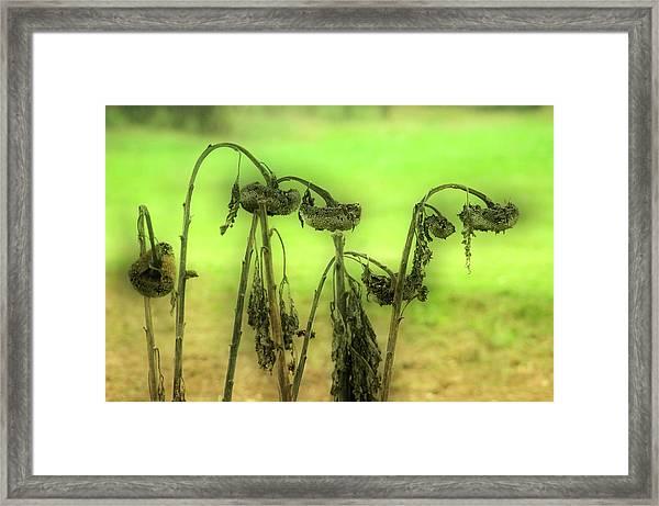 Sunflower Seed Heads Framed Print