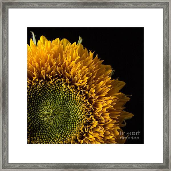 Sunflower Square Framed Print