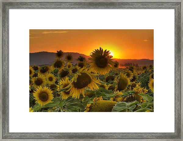 Sunflower Sun Rays Framed Print
