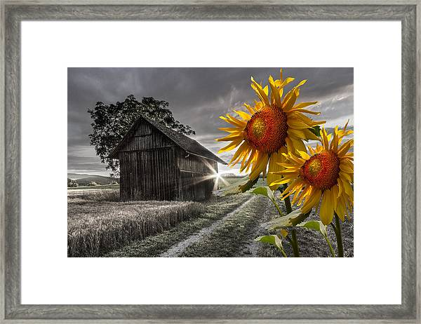 Sunflower Watch Framed Print