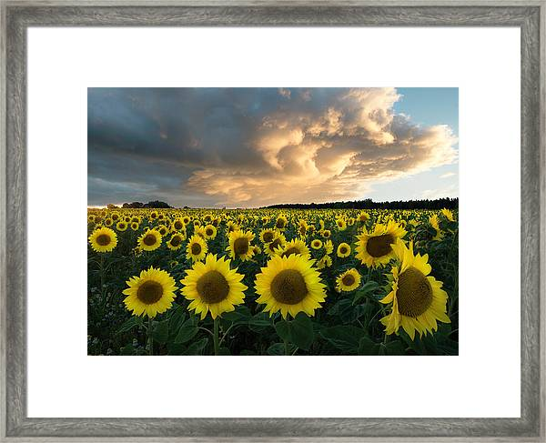 Sunflowers In Sweden. Framed Print