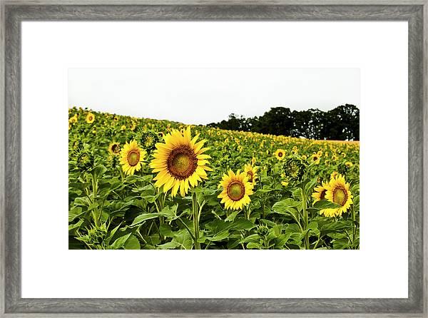 Sunflowers On A Hill Framed Print