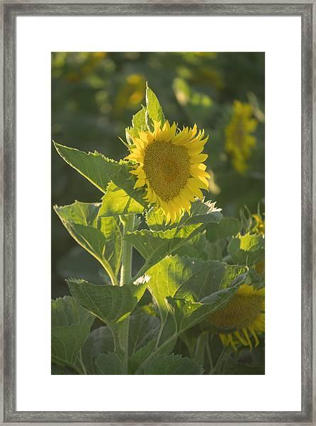 Sunlight And Sunflower 3 Framed Print
