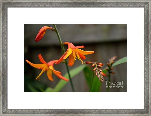 Framed Print featuring the photograph Sunny Crocosmia by Scott Lyons