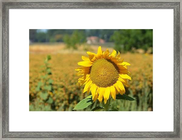 Sunny Sunflower Fields Framed Print