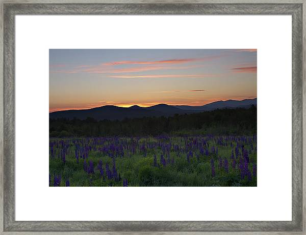 Sunrise Over A Field Of Lupines Framed Print