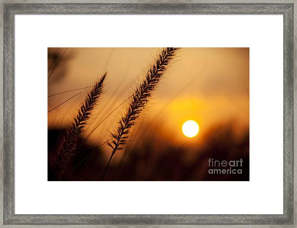 Sunset Fountain Grass Framed Print