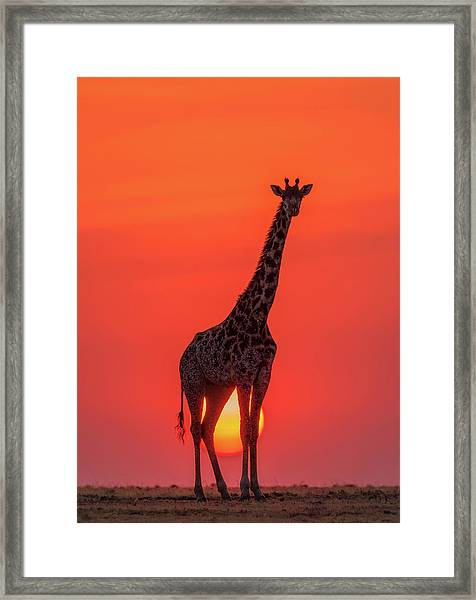 Sunset Giraffe Framed Print by Henry Zhao