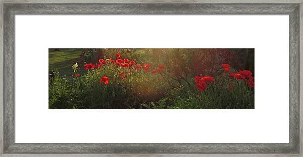 Sunset In The Poppy Garden Framed Print