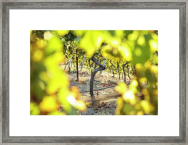Sunset Light Shining Through Grape Framed Print