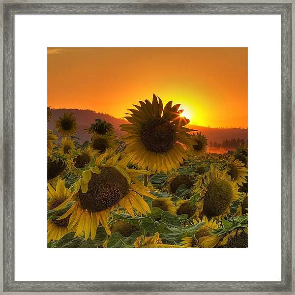 Sunst And Sunfloers  #sunset Framed Print