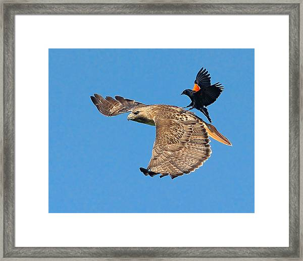 Framed Print featuring the photograph Surfer Bird  by William Jobes