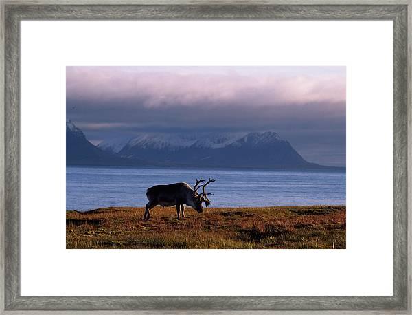 Svalbard Reindeer Grazing Near The Sea Framed Print