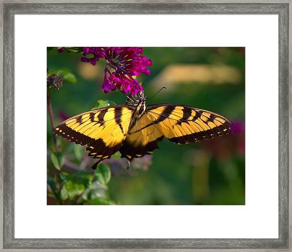 Swallowtail 1 Framed Print