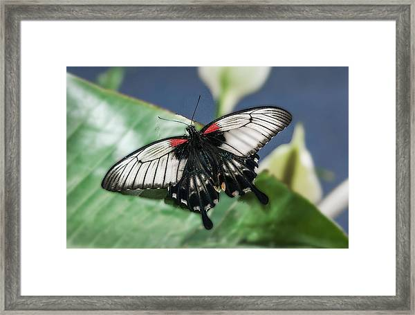 Framed Print featuring the digital art Swallowtail Butterfly by Mae Wertz
