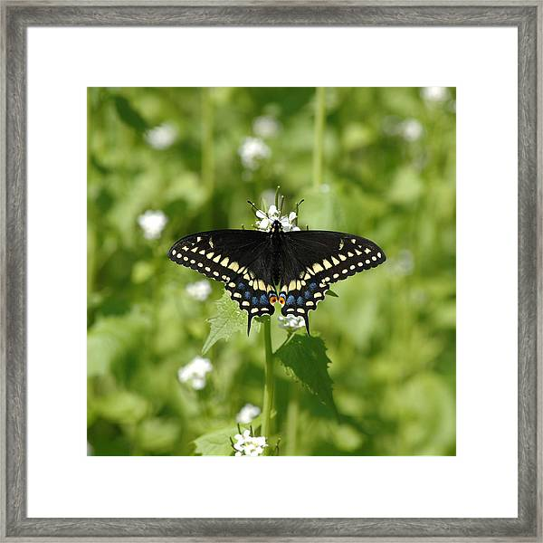 Framed Print featuring the photograph Swallowtail by David Armstrong