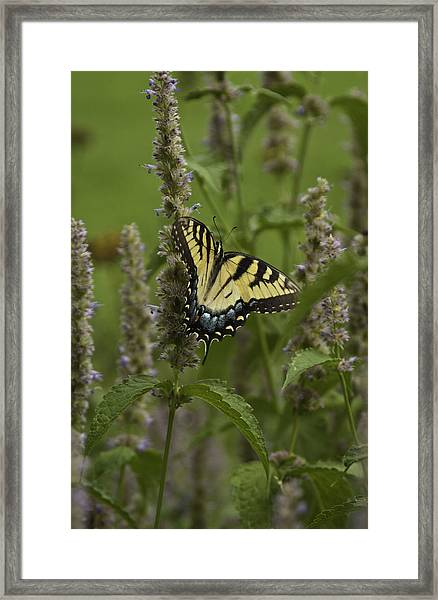 Swallowtail In Flower Field Framed Print