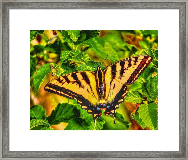 Swallowtail Framed Print by Larry Bodinson