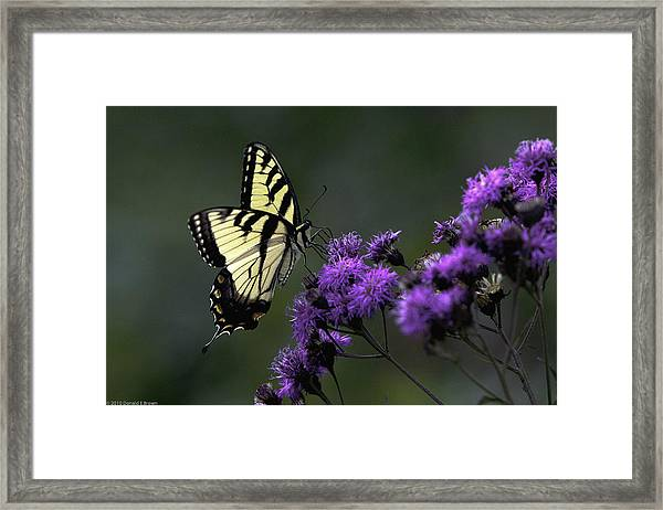 Swallowtail On Purple Framed Print