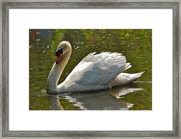 Swan 1 Framed Print