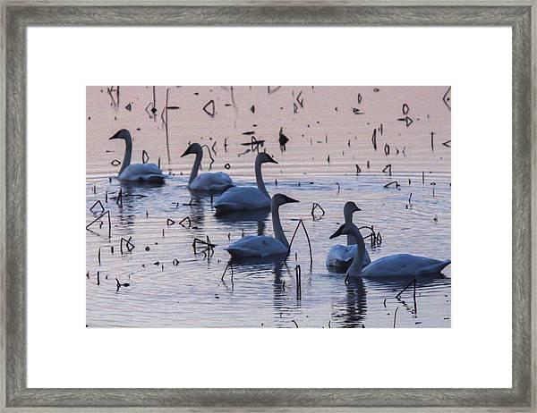 Swan At Dusk Framed Print by Jill Bell