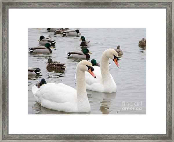 Swan Couple Framed Print