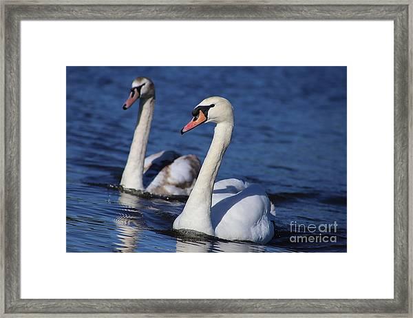 Swan Duo Framed Print