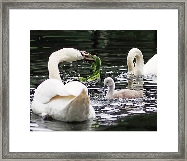 Swan Family Meal Framed Print