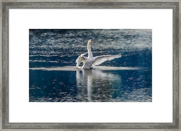Swan Glory Framed Print
