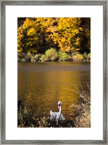 Swan Lake Framed Print