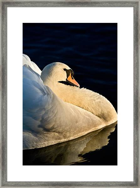 Swan On Lake Framed Print