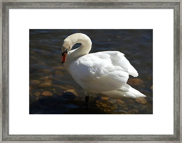 Swan Sunbathing Framed Print
