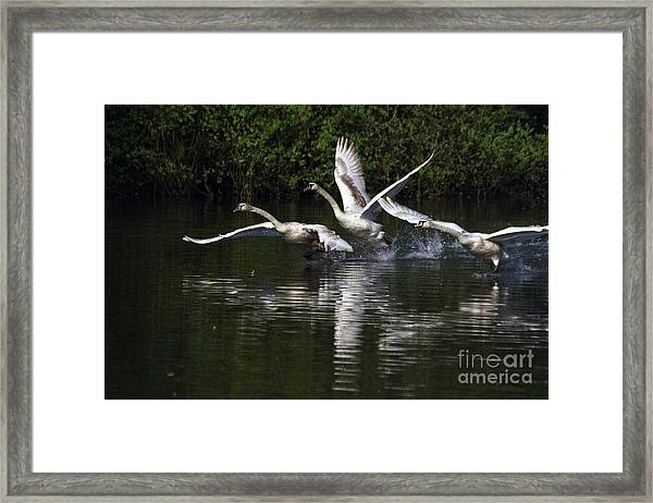 Swan Take-off Framed Print