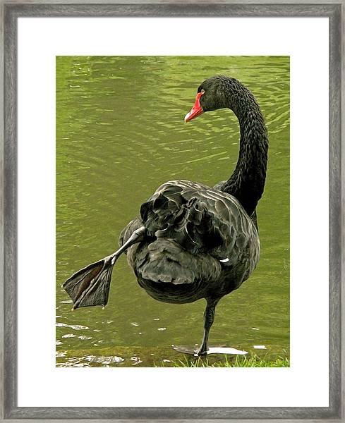 Swan Yoga Framed Print