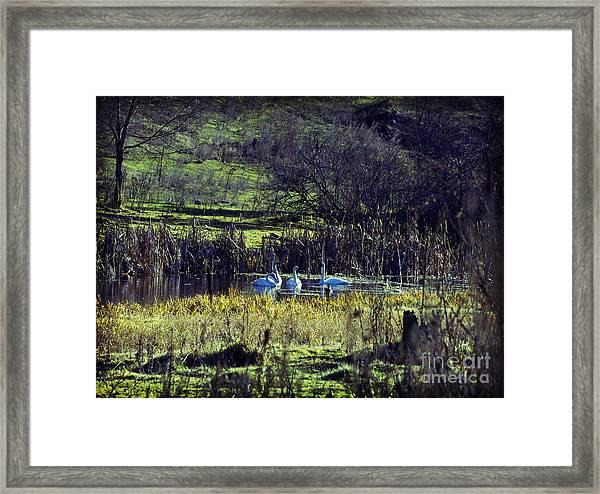 Swans Framed Print by Gloria De los Santos