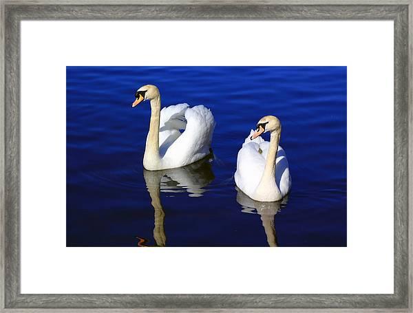 Swans On The Lake Framed Print