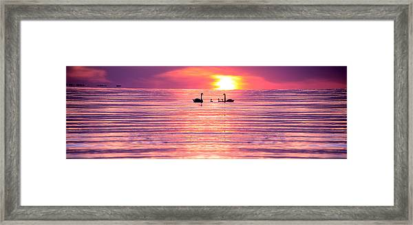 Swans On The Lake Framed Print