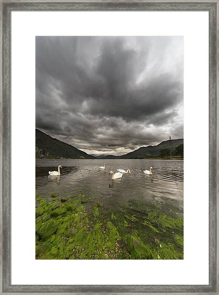 Swans Swimming In The Water Of Loch Framed Print by John Short / Design Pics