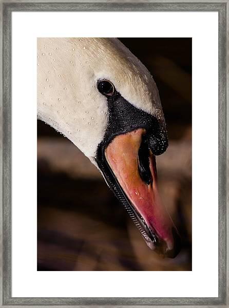 Swan's Wet Head Framed Print