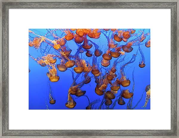 Swarm Of Jellyfish Framed Print